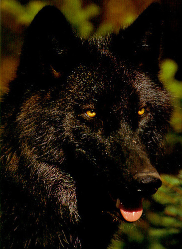 Black بھیڑیا