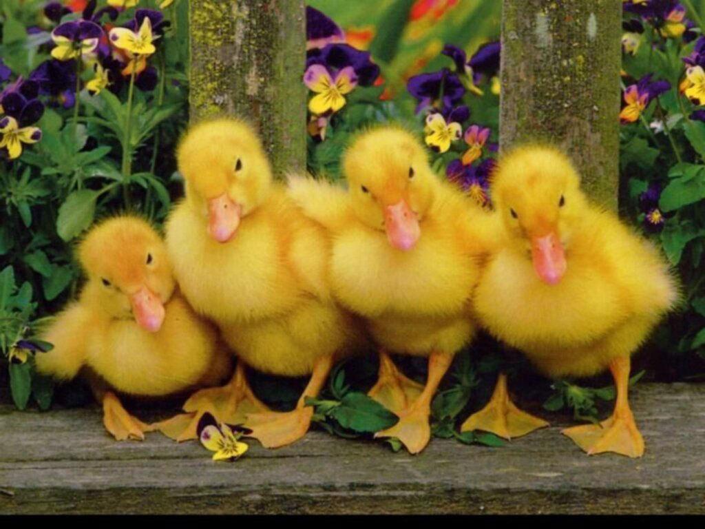 Babies Duck