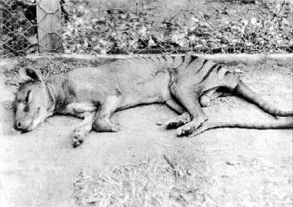 Sleeping Thylacine