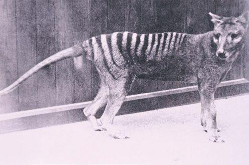 Thylacine, Hobart Zoo, 1930s