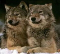 Whinny's fav animal- the wolf - demon_wolf photo
