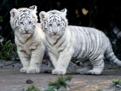Милые детки Обои probably with a tiger cub, a bengal tiger, and a тигрица titled Baby White Тигры