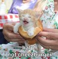 Halp! I not cheezburger - lol-catz photo