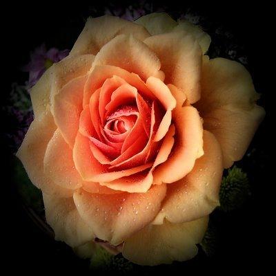 مالٹا, نارنگی Rose