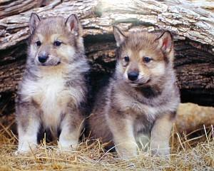 Grey loup Pups