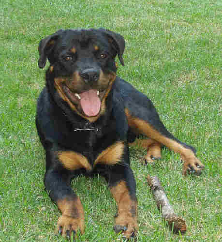 A Rottie