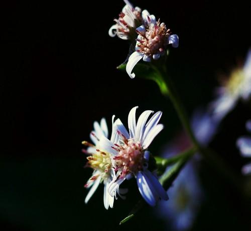 White fleurs