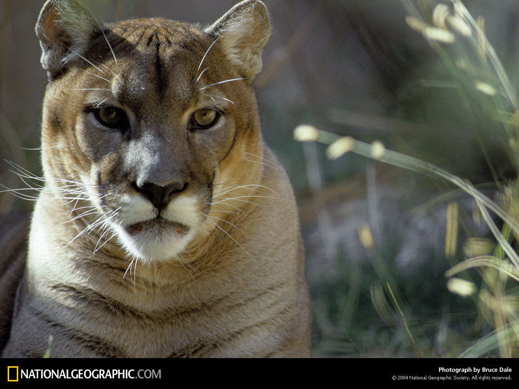 mountain lion resting national geographic wallpaper