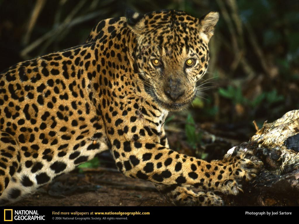 Jaguar National Geographic Wallpaper 9042086 Fanpop