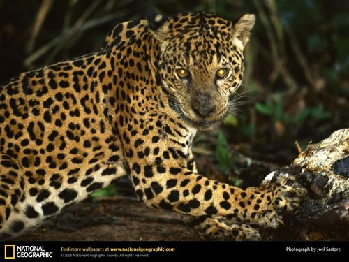 National Geographic پیپر وال called Jaguar