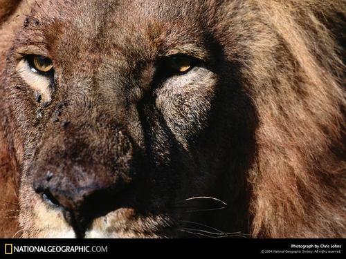 Lion,Close Up