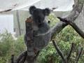 koala - bindi-irwin wallpaper