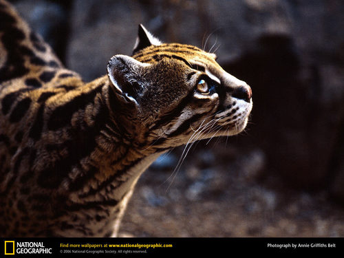 Ocelot - national-geographic Wallpaper
