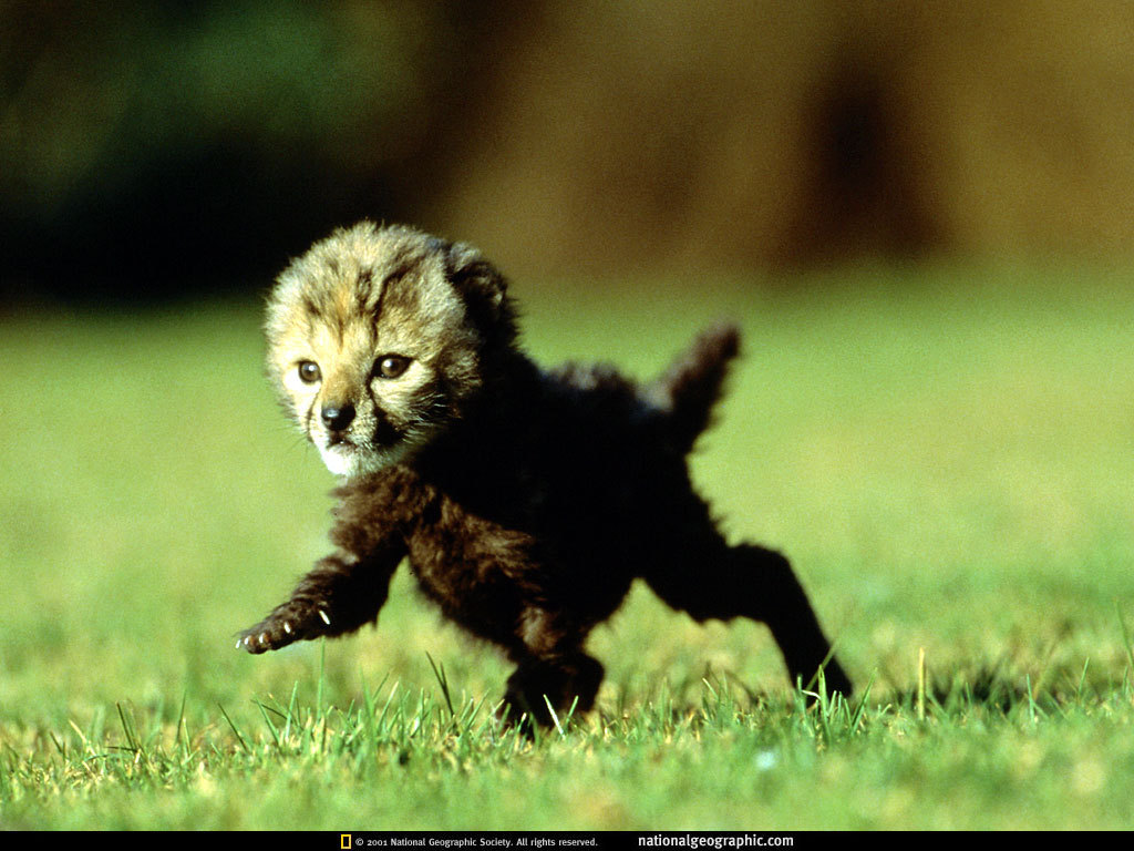 Baby Cheetah - National Geographic Wallpaper (9042161 ...