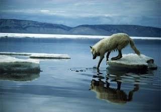 Arctic নেকড়ে