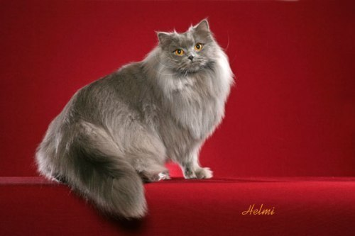 Kitties wallpaper with a persian cat titled cat