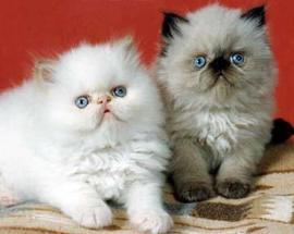 Kitties wallpaper containing a persian cat titled cat