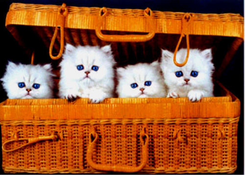 Kitties wallpaper containing a wicker basket, a persian cat, and a basket entitled cat