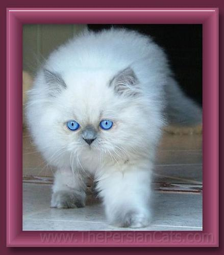 Kitties wallpaper containing a persian cat called cat