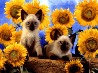 Kitties वॉलपेपर probably with a चिहुआहुआ and a siamese cat called cat