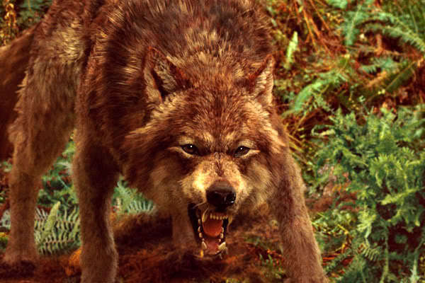 The gallery for --> Jacob Black Wolf Form Werewolf Twilight Jacob