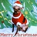 Christmas Chihuahua - dogs icon
