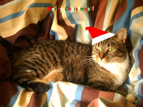 My Cat, Cookie, on Christmas