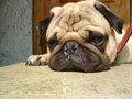 My Pug Aldo