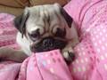 Puppy Pug Aldo