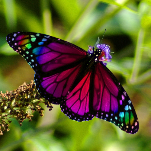 Rainbow Butterfly - butterflies Photo