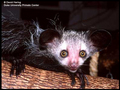 The Aye Aye - aye-aye photo