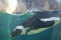African Penguin Swimming 1