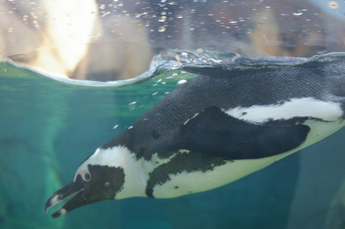 African pinguin, penguin Swimming 1