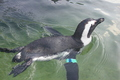 African Penguin Swimming 2