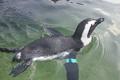 African Penguin Swimming 2