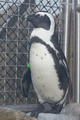 African Penguin at the National Aviary