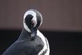 African Penguin Preening
