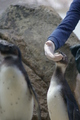 Young African Penguin Being Fed