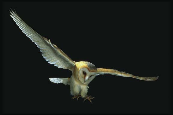 grange Owl Comin' for a Landing