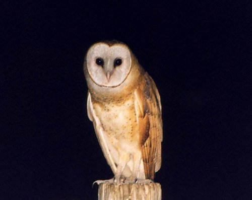 grange Owl on a Post
