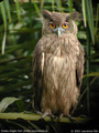 Dusky Eagle - owls photo