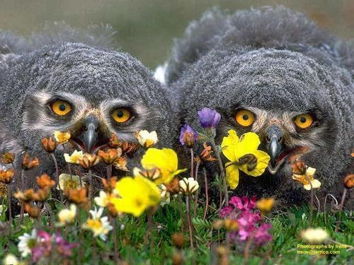 Great Grey Owl chicks