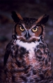 Great Horned Owl - owls photo