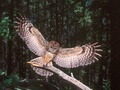 Nice Wingspan ! - owls photo