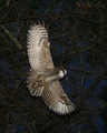 On the Wing - owls photo