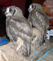 Pair of Bubo Cinerascens - owls photo