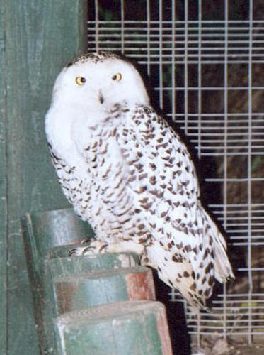 Snowy Owl Youngster