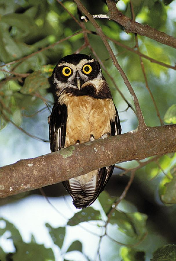 South American Spectual Owl