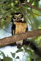 South American Spectual Owl - owls photo