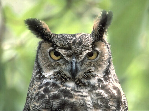 Tuffed-ear Owl